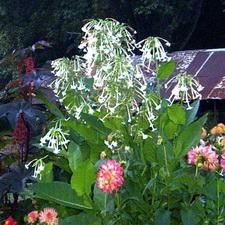 Nicotiana  - Pure White