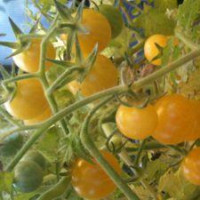 Coyote White Cherry Tomato (Rare)