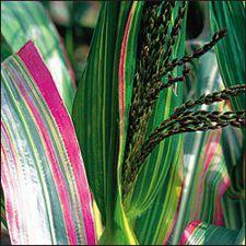 Corn - Japanese Ornamental