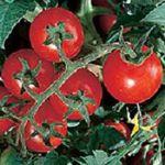 Latah Red Tomato