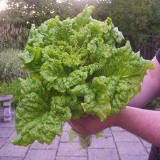 Green Ruffles Lettuce