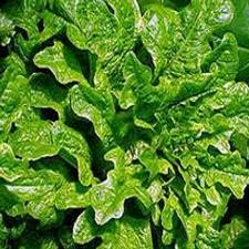 Lettuce - Oak Leaf