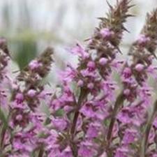 Agastache Mint (purple)