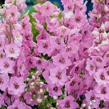 Delphinium - Pink