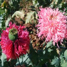 Poppy - Pink Feather