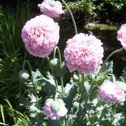Brother nature organic seeds pink pom pom poppy papaver pink pom pom poppy mightylinksfo
