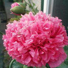 Pink Pom Pom Poppy