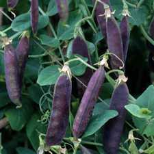 Pea - Purple Mist Pod