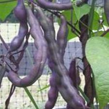 Beans - Royal Purple