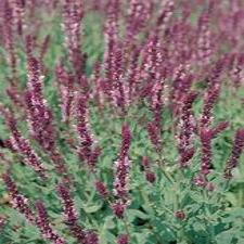 Salvia Mix