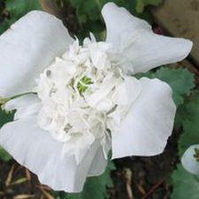 Poppy - Snowbride