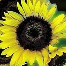 Superflora Sunflower