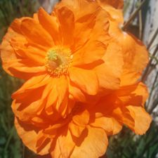 Poppy Alpine Mix